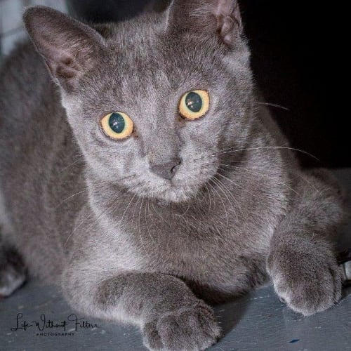Diago - Domestic Short Hair Cat