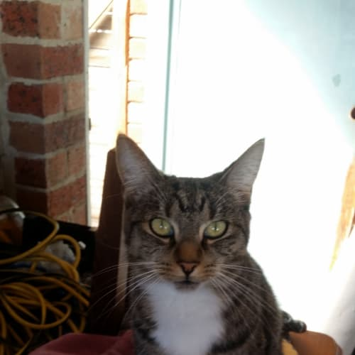 Tinkerbell (Located in Chelsea Heights) - Domestic Short Hair Cat