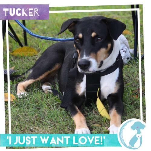 Tucker - Kelpie Dog