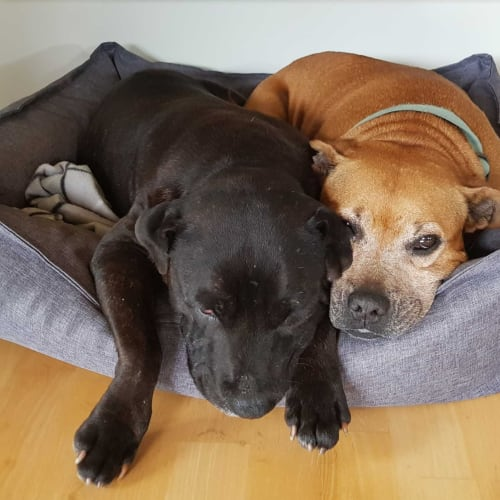 Joe & Pam - Staffordshire Bull Terrier Dog