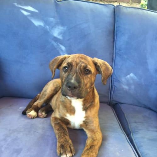 Winnie - American Staffordshire Bull Terrier Dog