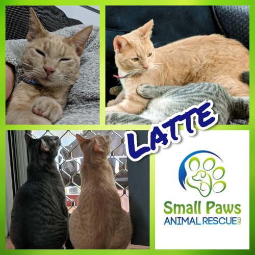 Latte - Domestic Short Hair Cat