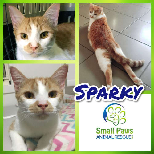 Sparky - Domestic Short Hair Cat