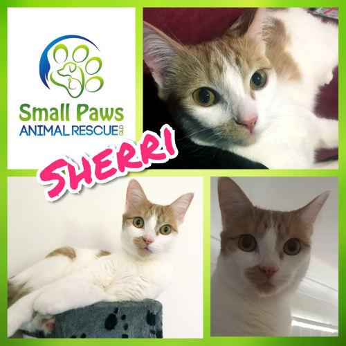 Sherri - Domestic Short Hair Cat