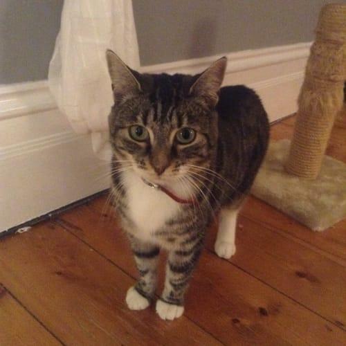 Bijou - Domestic Short Hair Cat