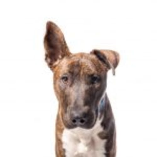 Regis - Bull Terrier Dog