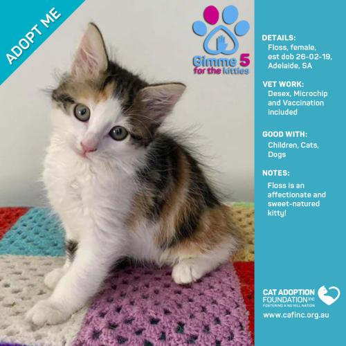 Floss - Domestic Short Hair Cat