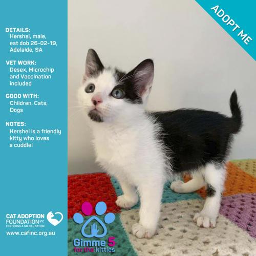 Hershel - Domestic Short Hair Cat