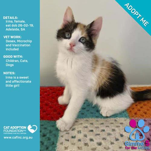 Irma - Domestic Short Hair Cat