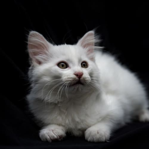 Winter SK2978 - Angora Cat