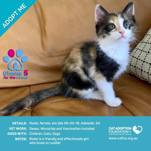 Rosie - Domestic Short Hair Cat