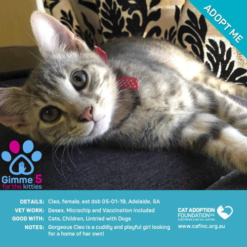 Cleo - Domestic Short Hair Cat