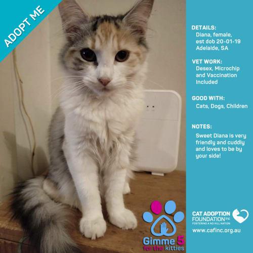 Diana - Domestic Short Hair Cat