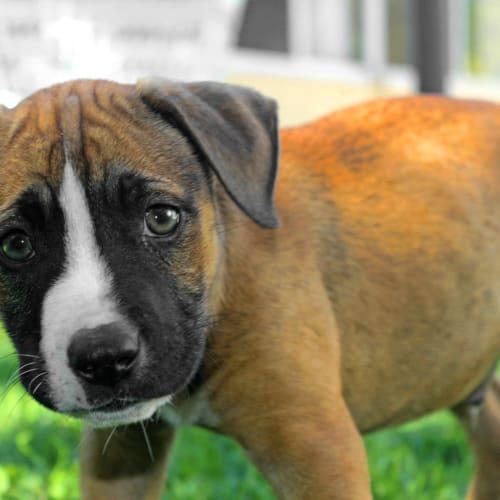 Buddy SP0141 - American Staffordshire Terrier Dog