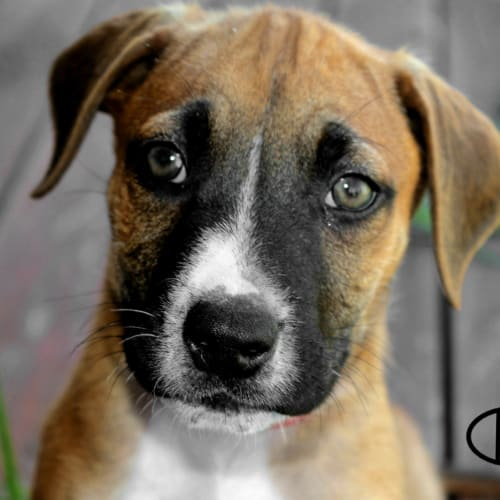 Harry SP0149 - American Staffordshire Terrier Dog