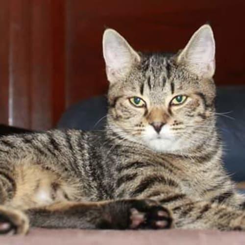 Tabatha - Domestic Short Hair Cat