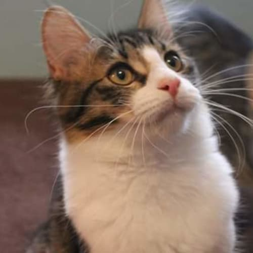 Trixie - Domestic Short Hair Cat