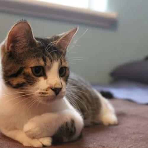 Talulah - Domestic Short Hair Cat