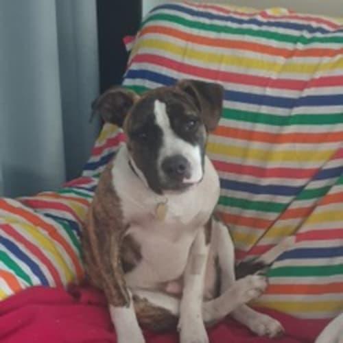 Braxton - Boxer x American Staffordshire Bull Terrier Dog