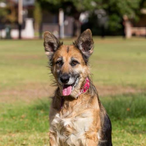 Kara - German Shepherd Dog