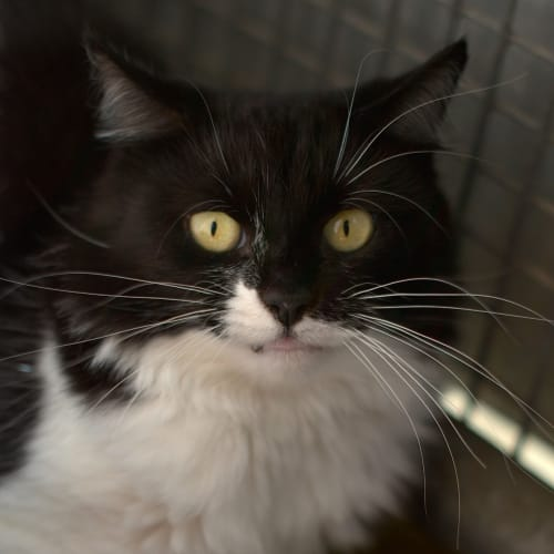 Little Miracle - Domestic Medium Hair Cat