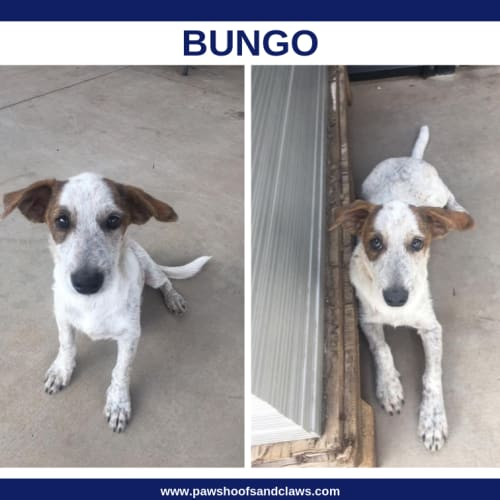 Bungo - Cross breed x Terrier x Mixed Dog