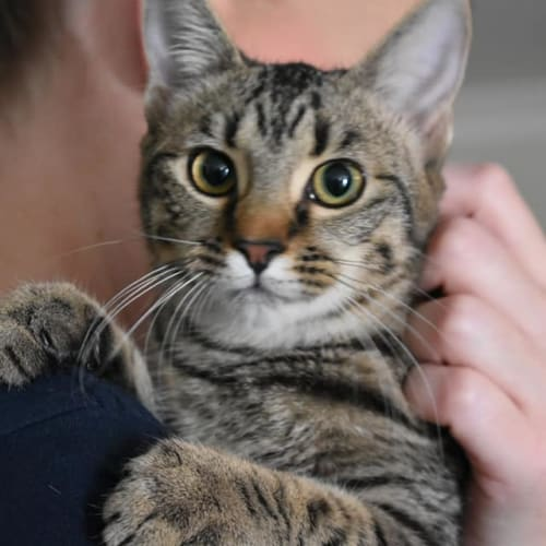 Topaz - Domestic Short Hair Cat