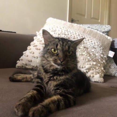 Miss Moxy - Domestic Medium Hair Cat