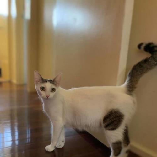 Gracie (cat) - Domestic Short Hair Cat