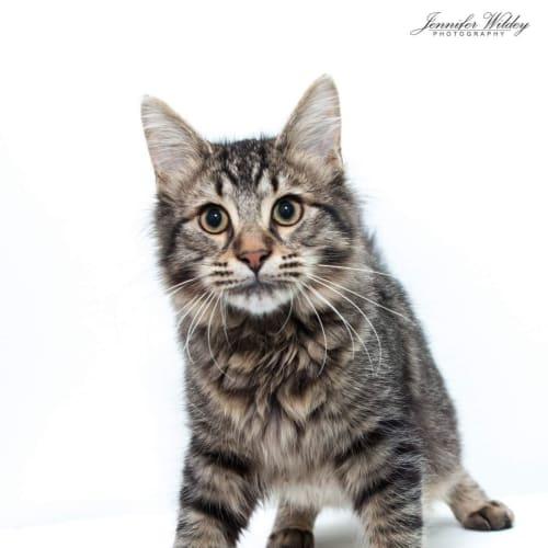 Flynn - Domestic Medium Hair Cat