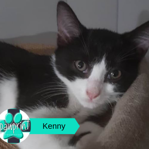 Kenny - Domestic Short Hair Cat
