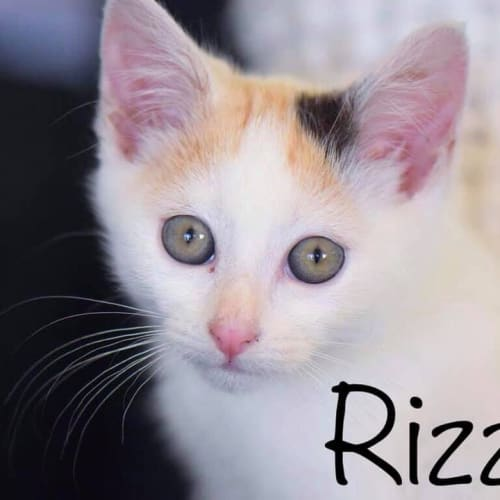Rizzo - Domestic Short Hair Cat