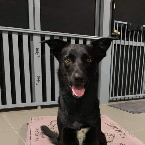 Bundy - Kelpie x Labrador Dog