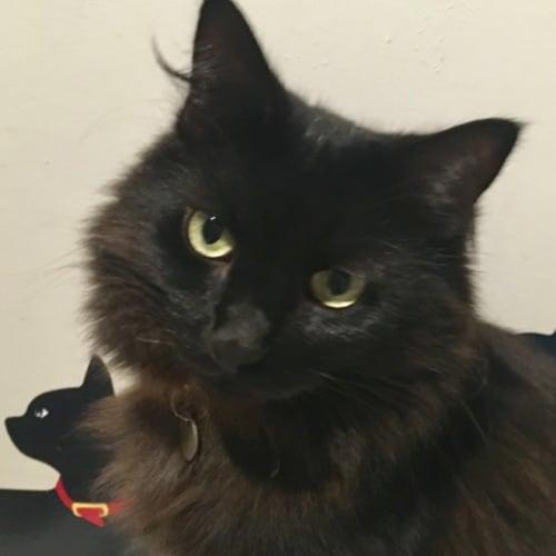 Mae-Ling - Domestic Long Hair Cat