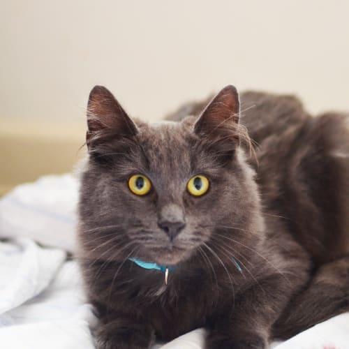 Ash - Domestic Medium Hair Cat