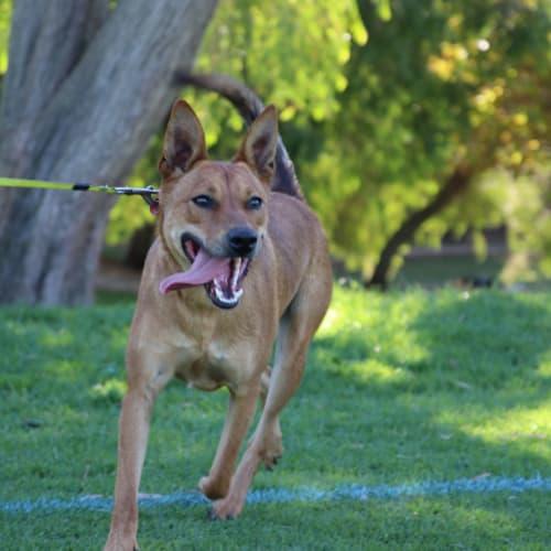 Buddy - Kelpie Dog
