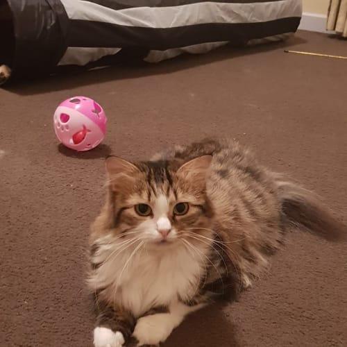 AC0902 - Maple - Domestic Long Hair Cat