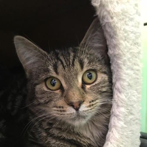 Kez - Domestic Short Hair Cat