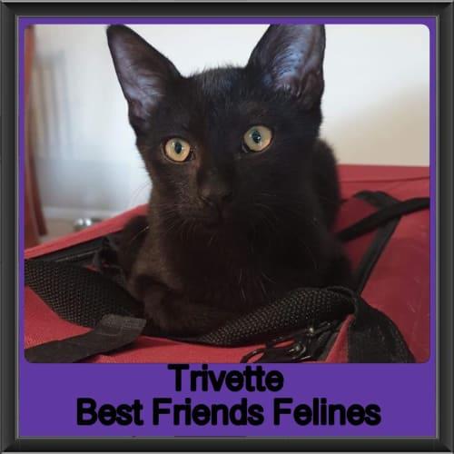 Trivette  - Domestic Short Hair Cat