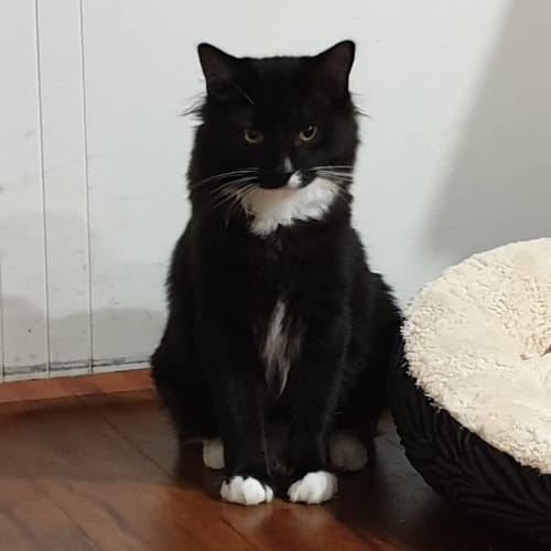 Napoleon - Domestic Short Hair Cat