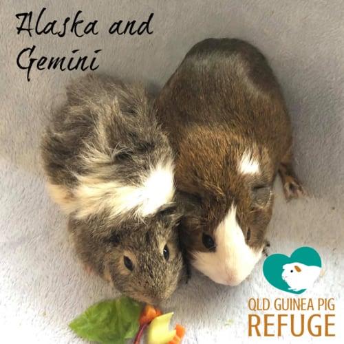 Alaska and Gemini  - Abyssinian Guinea Pig