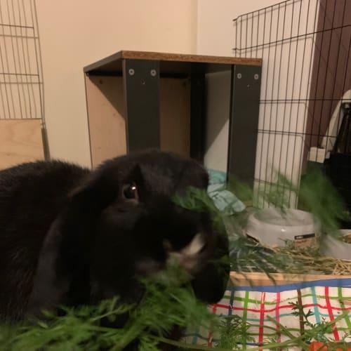 Kramer - Domestic Rabbit