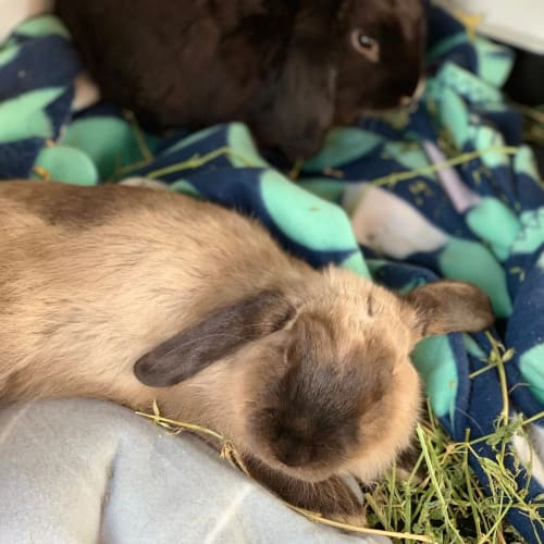 Newman! - Domestic Rabbit