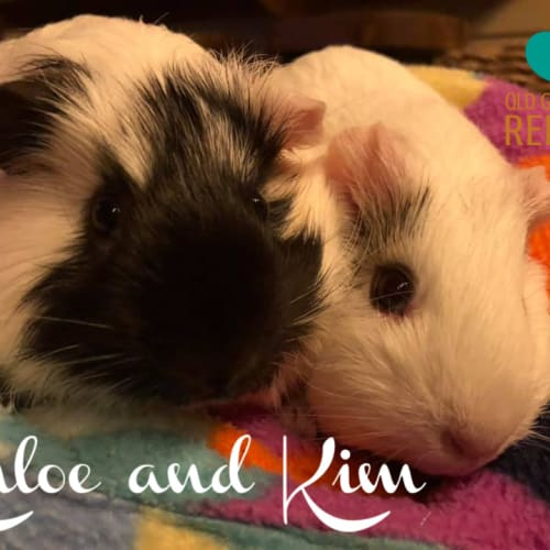 Khloe and Kim - Smooth Hair Guinea Pig