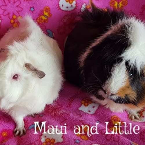 Maui and Little Fluff (unsuitable for young kids) - Abyssinian Guinea Pig