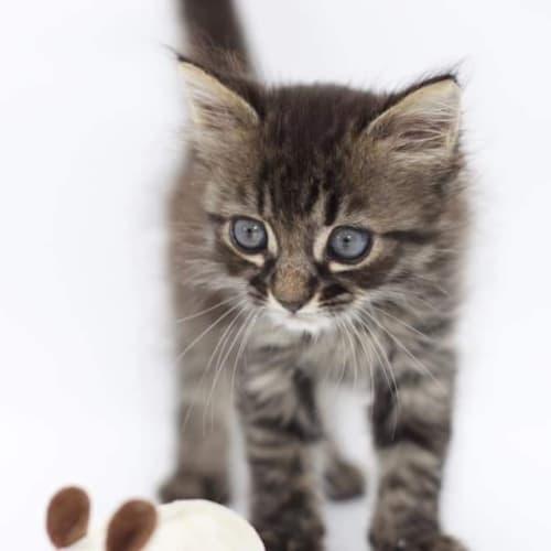 Sif - Domestic Medium Hair Cat