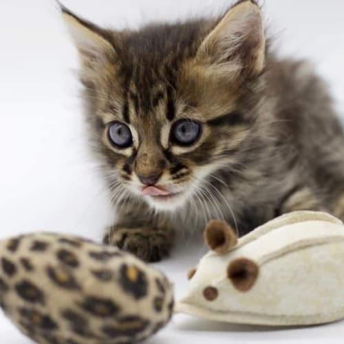 Freya - Domestic Medium Hair Cat