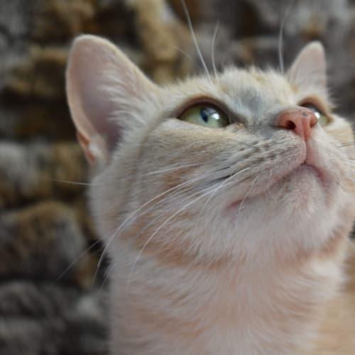 Desert Rose - Domestic Short Hair Cat