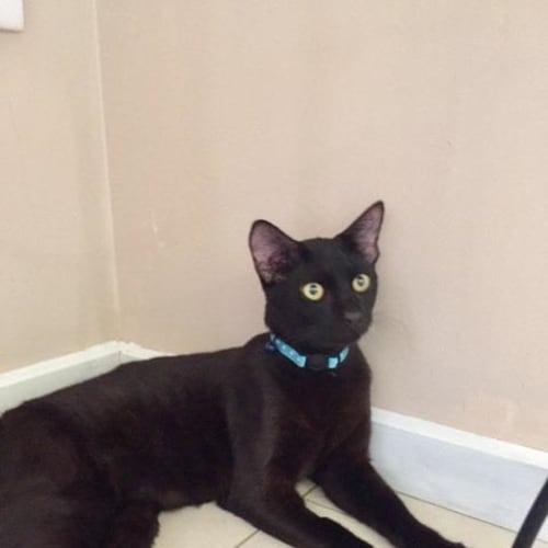 Ink - Domestic Short Hair Cat