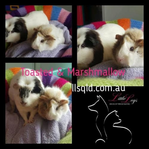 Marshmallow & Toasted - Guinea Pig